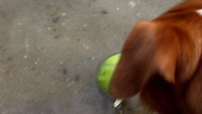 Jack russell terrier dog sniffing tennis ball and leaves stock video footage