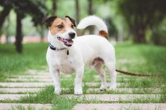 Jack Russell Terrier dog standing at free stack pose while walking outdoor on leash. Nice dog standing at stone footpath royalty free stock photos
