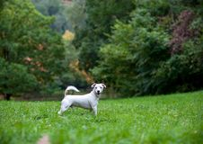 Jack Russell Terrier Dog Standing heureux sur l'herbe photographie stock libre de droits