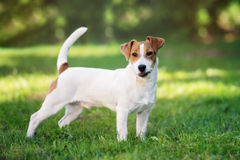 Jack russell terrier dog standing outdoors Stock Photography