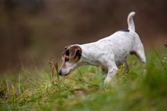 Jack Russell Terrier dog stands sideways and is smelling plant stock photos