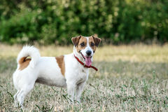 Jack Russell Terrier dog staying on the grass in a summer park. A dog looking at the camera Stock Photography