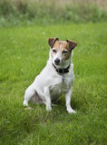 Jack Russell Terrier Dog. A stout muscular male Jack Russell Terrier sitting in the grass royalty free stock photos