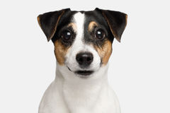 Jack Russell Terrier Dog sur le fond blanc Image stock