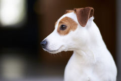 Jack Russell Terrier. Dog Jack Russell Terrier is a very lively cheerful and good-natured breed Royalty Free Stock Photos