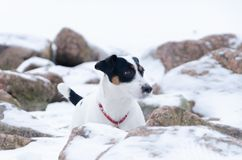 Jack Russell Terrier.The dog walks on a deserted stone beach. Mental health of a lonely dog stock images