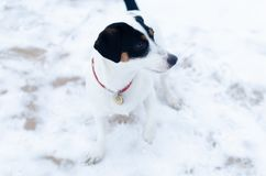 Jack Russell Terrier.The dog walks on a deserted stone beach. Mental health of a lonely dog royalty free stock images