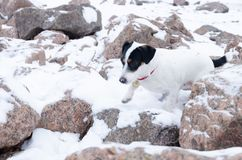 Jack Russell Terrier.The dog walks on a deserted stone beach. Mental health of a lonely dog stock photo