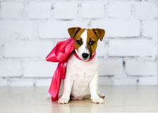 Jack Russell Terrier Dog-Welpe mit rosa Band Lizenzfreie Stockfotografie