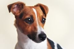 Jack Russell terrier dog with white background, detail on her head.  stock photo