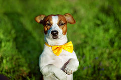 Jack Russell terrier dog With yellow bow tie is sitting on a grass stock photo
