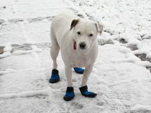 Jack Russell Terrier in doggie boots standing in the snow. White Jack Russell Terrier Canis Lupus Familiaris standing on a snow-covered path, and not looking Royalty Free Stock Photos