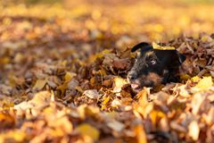 Funny Jack Russell under a foliage heap and looks out stock image