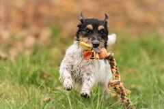 Jack Russell Terrier-dogis die over een weide met een bal in zijn mond lopen royalty-vrije stock foto's