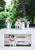 The Jack Russell terrier Stock Photos