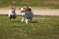 Jack Russell Terrier Dogs Running on the Grass Royalty Free Stock Photo