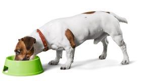 Jack Russell Terrier Eating of het Drinken van a royalty-vrije stock afbeelding
