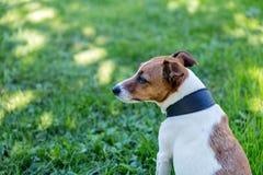 Jack Russell Terrier in een zwarte kraag stock foto