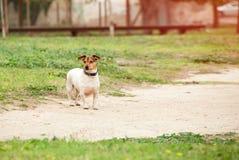 Jack Russell Terrier em uma caminhada sem uma trela Grama da mola, th foto de stock