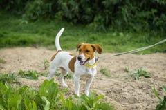 Jack Russell Terrier em uma trela, pronto para ser executado atentos e no jogo fotos de stock royalty free