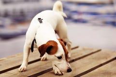 Jack Russell Terrier en el puente de madera Imagenes de archivo