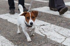 Jack Russell Terrier engraçado com trela está andando ao lado do seus próprios fotografia de stock royalty free