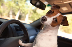 Jack Russell Terrier Enjoying a Car Ride Stock Photos