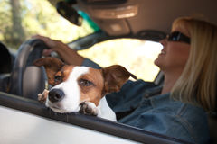 Jack Russell Terrier Enjoying a Car Ride. Jack Russell Terrier Dog Enjoying a Car Ride royalty free stock images