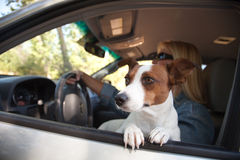 Jack Russell Terrier Enjoying a Car Ride Royalty Free Stock Images