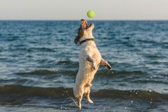 Jumping dog catching tennis ball having fun in water at sea beach. Jack Russell Terrier enjoys hot dog days at Cyprus royalty free stock photography