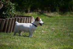 Jack Russell Terrier equipado com pernas curto Fotografia de Stock