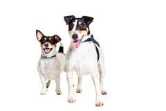 Jack Russell Terrier et renard, d'isolement sur le blanc Photo stock