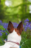 Jack Russell terrier exploring some bluebell woods Royalty Free Stock Image