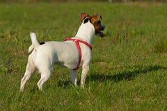 Jack Russell Terrier fêmea Fotografia de Stock