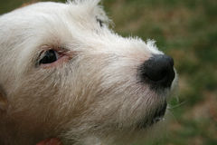 JACK RUSSELL TERRIER FACE. At close range stock images