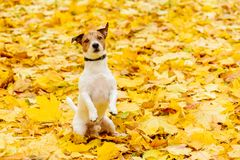 Dog sitting on hind legs in begging pose on yellow carpet of fallen autumn leaves. Jack Russell Terrier at fall park royalty free stock photography