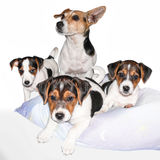Jack Russell Terrier family. Adult dog and its puppies on pillow, white background royalty free stock images