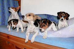 Jack Russell Terrier family. Adult dogs and its puppies in the bed stock image