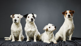 Jack Russell terrier family portrait Royalty Free Stock Photo