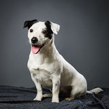 Jack Russell terrier female Royalty Free Stock Photography