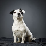 Jack Russell terrier female Royalty Free Stock Photos