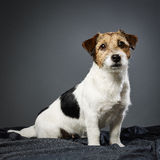 Jack Russell terrier female Stock Images