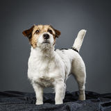 Jack Russell terrier female Royalty Free Stock Image