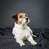 Jack Russell terrier female Stock Photos
