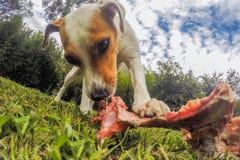 Jack Russell Terrier Female Dog With een Been stock foto