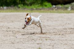 Jack Russell Terrier Running With Full Speed
