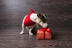 Jack Russell Terrier with festive gift box. Stock Images