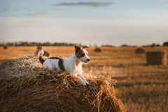Jack Russell terrier in a field at sunset stock photo