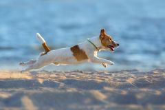 Jack russell terrier fly. Jack russell terrier dog running on a beach of sea Stock Images