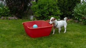 Jack Russell Terrier Fools Around Digging het Water stock video